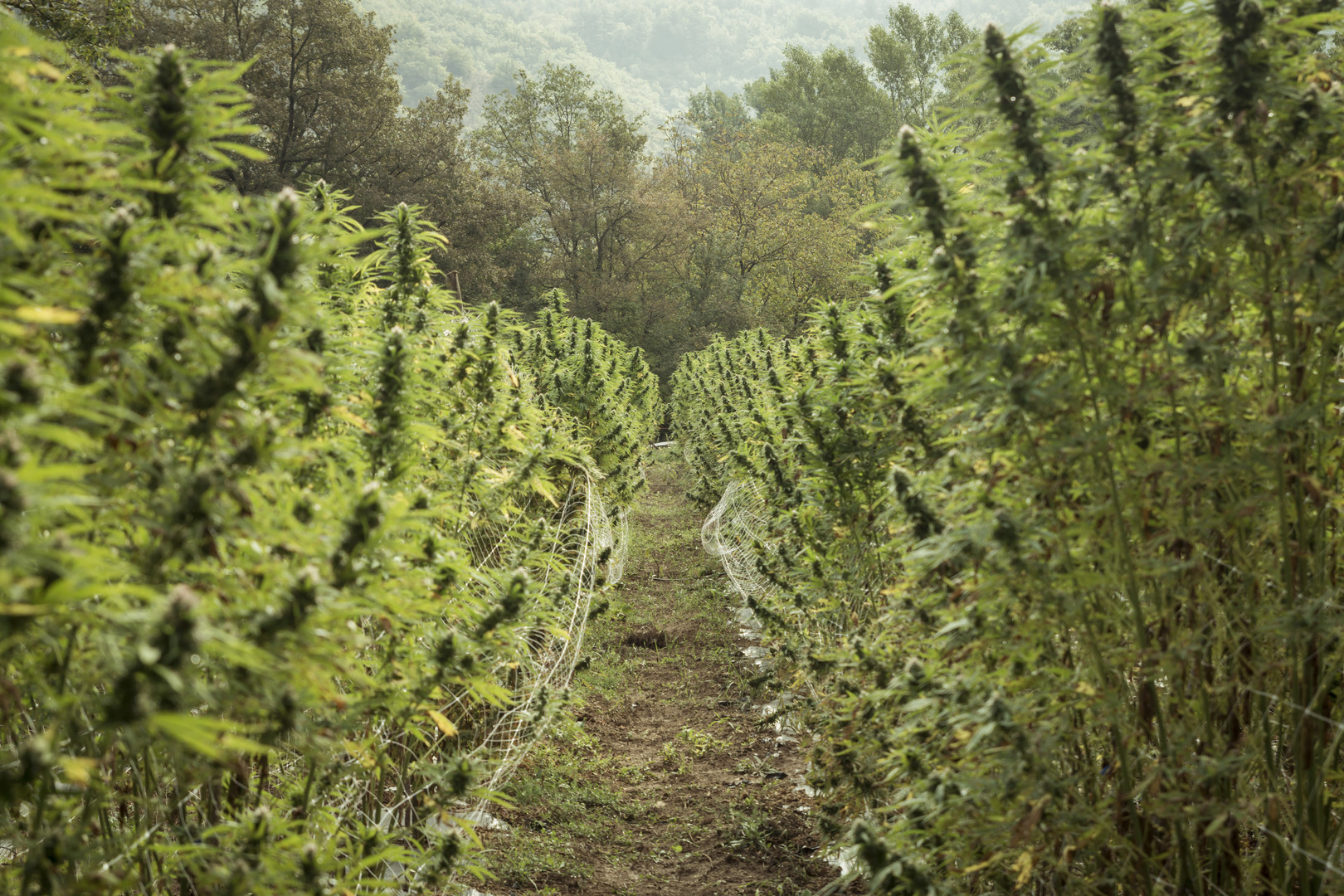 Terre di Cannabis_Photo 1