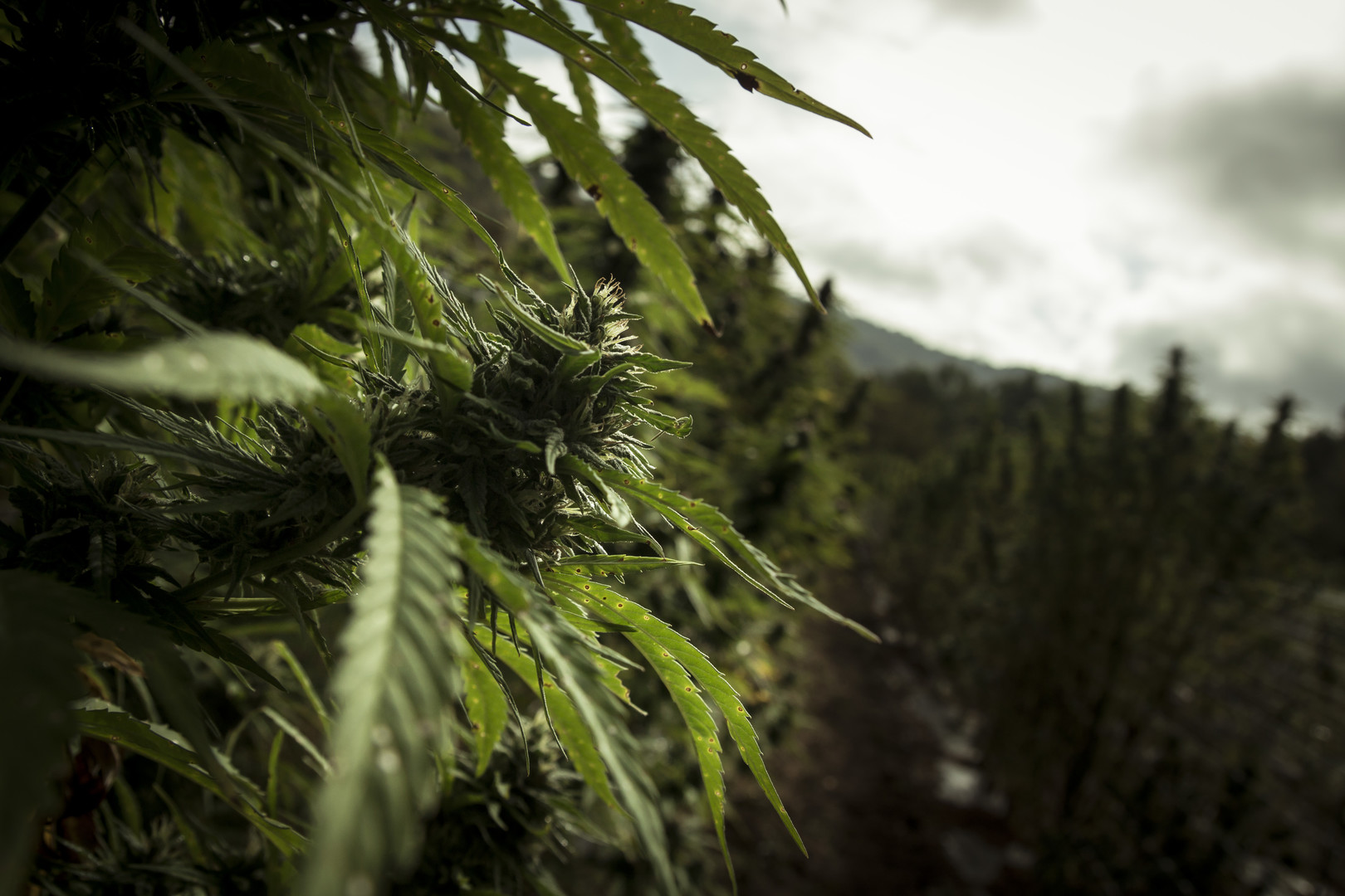 Terre di Cannabis_Photo 3